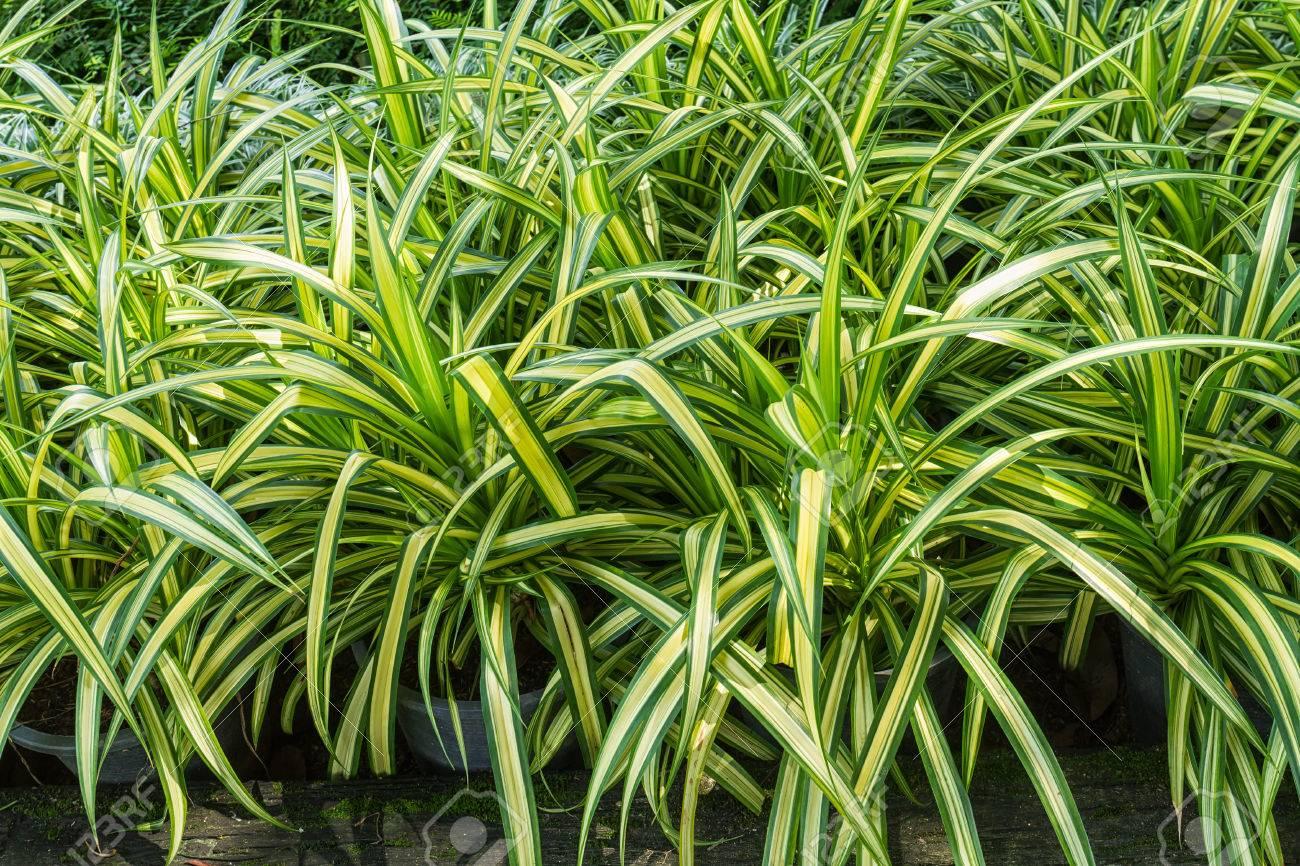 Primer Plano De La Planta Araña Hojas Frescas O Chlorophytum ...