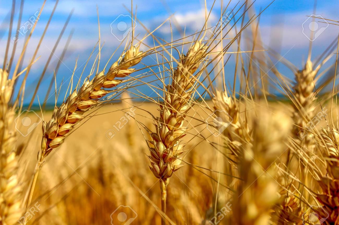 Big field of gold wheat with dark blue sky