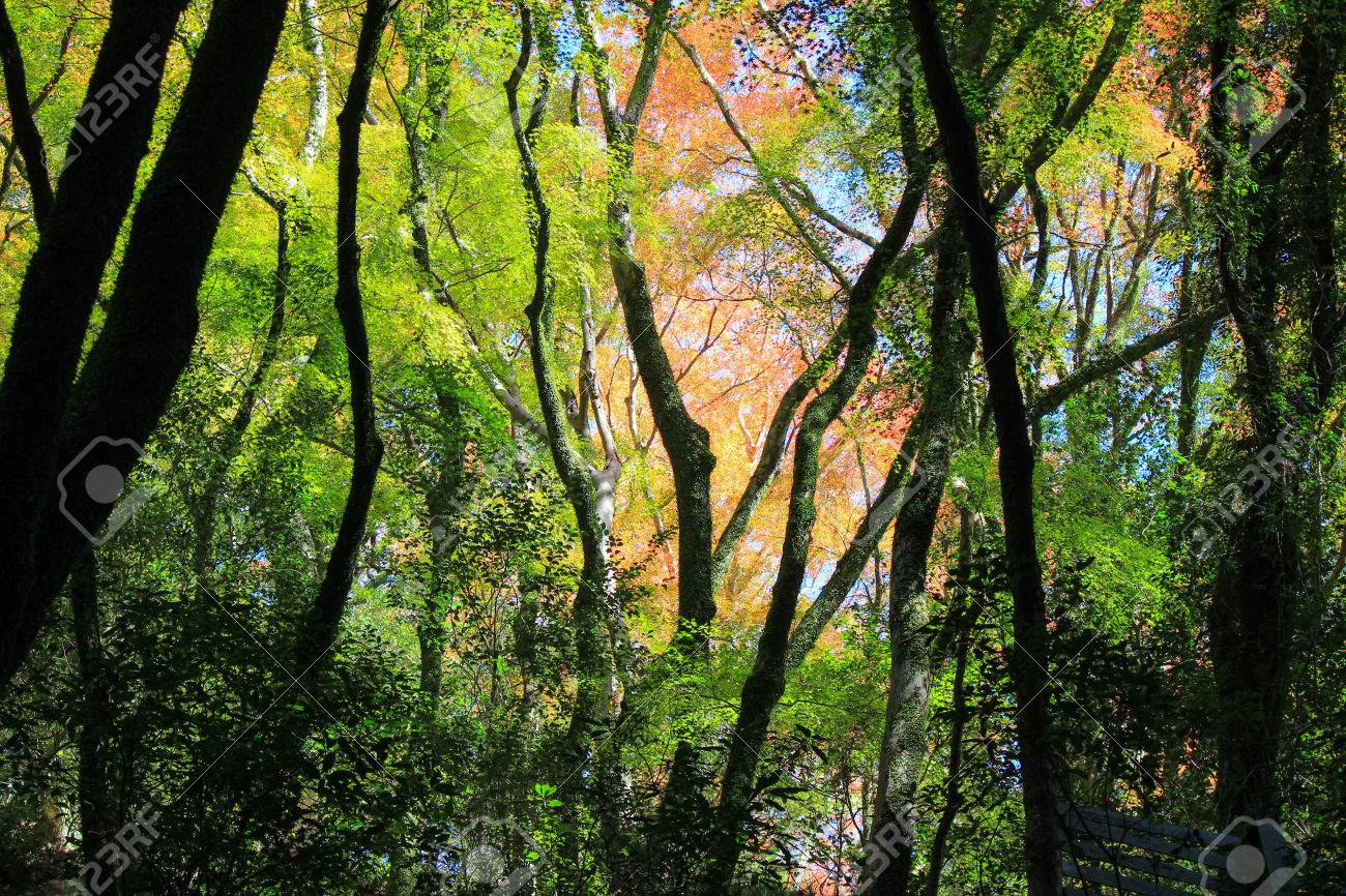 Fall Foliage At Minoo Park(a Forested Valley On The Outskirts ...
