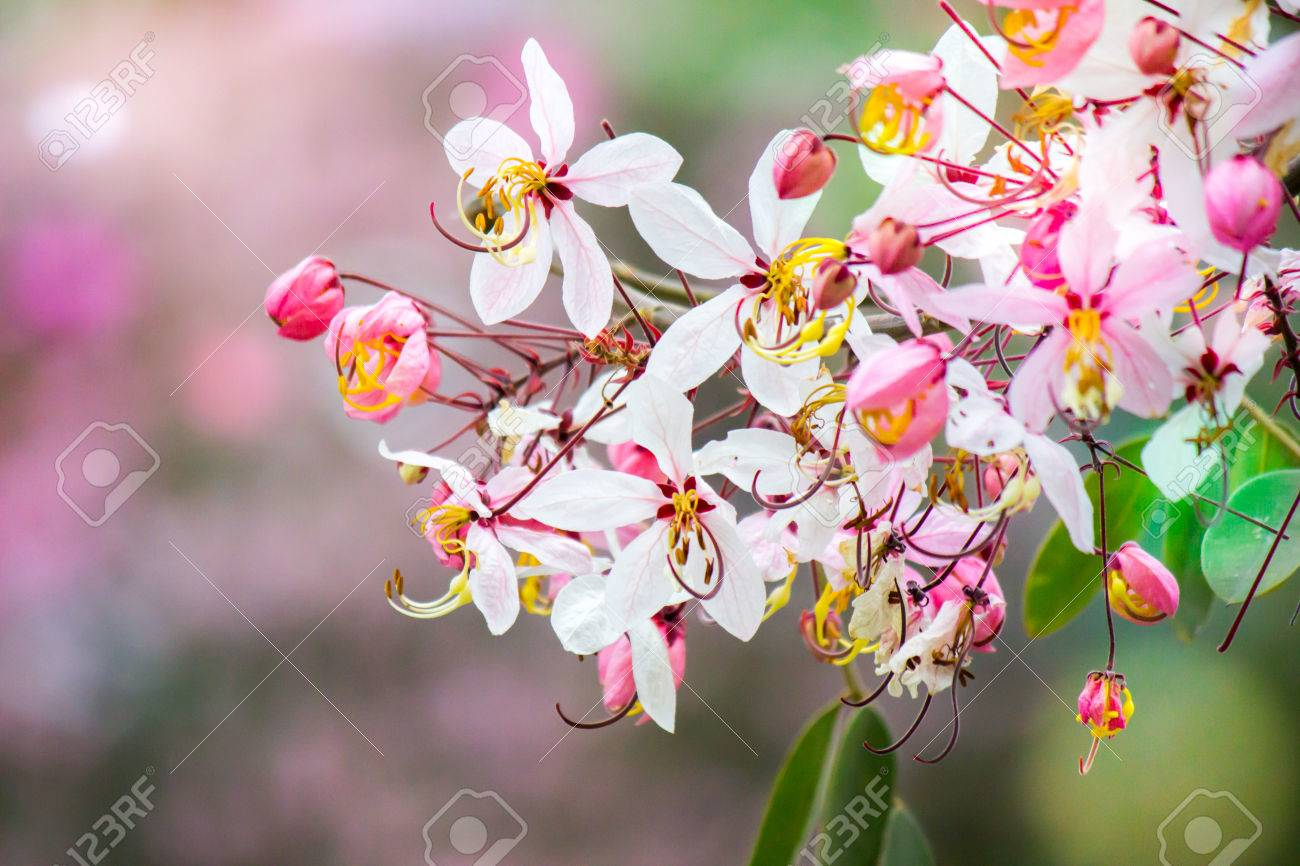 Lovely Flowers Of Cassia Bakeriana Craibthai Namekalapaphruek