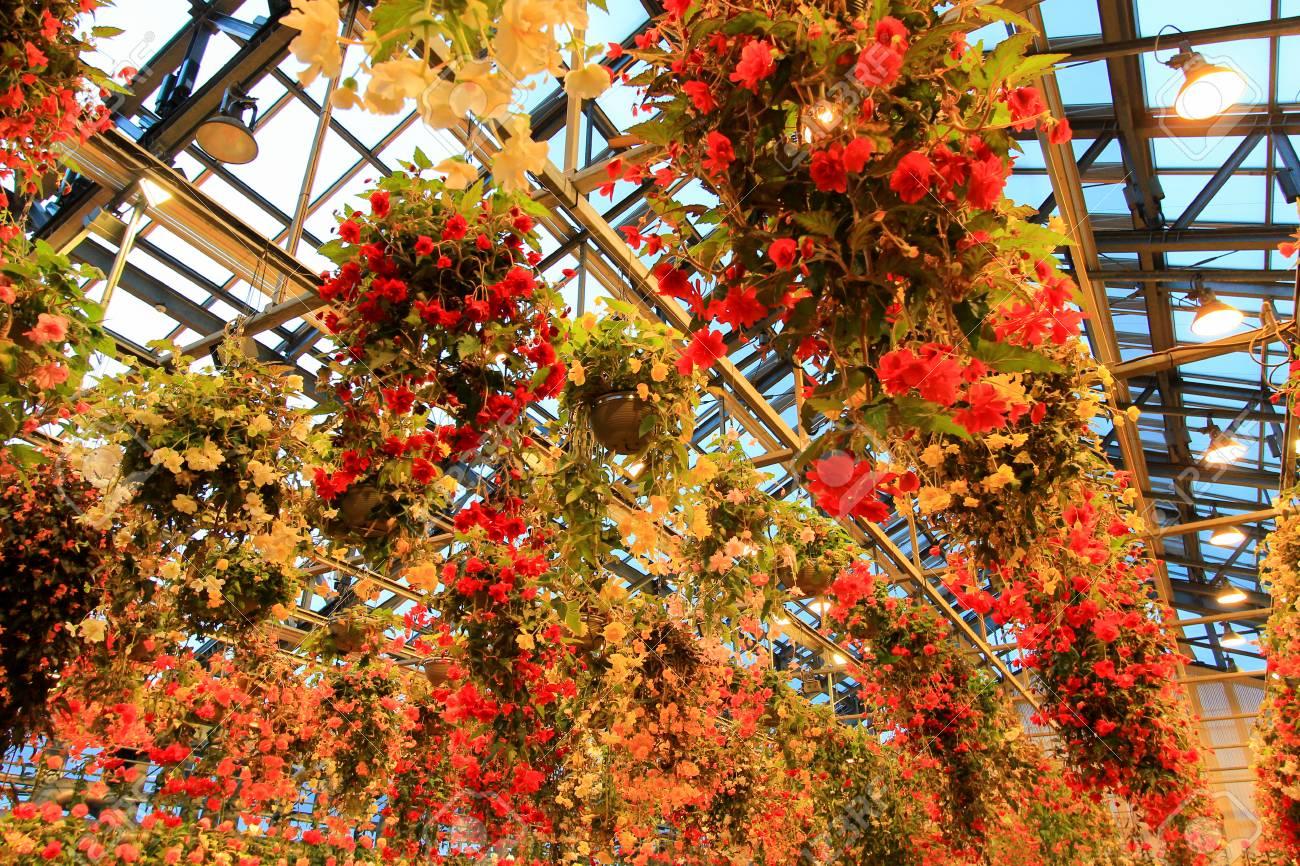 Multicolor Begonia In Begonia Garden In Mie Japan Stock Photo
