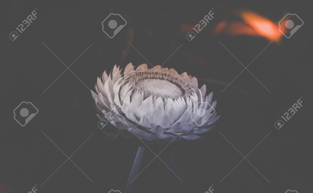 Beautiful Straw Flower In Black And White Tone Stock Photo Picture