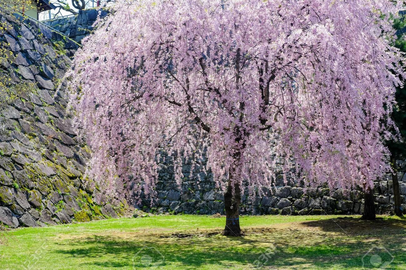Weeping Cherry Tree Shidarezakura And The Stone Walls At Morioka