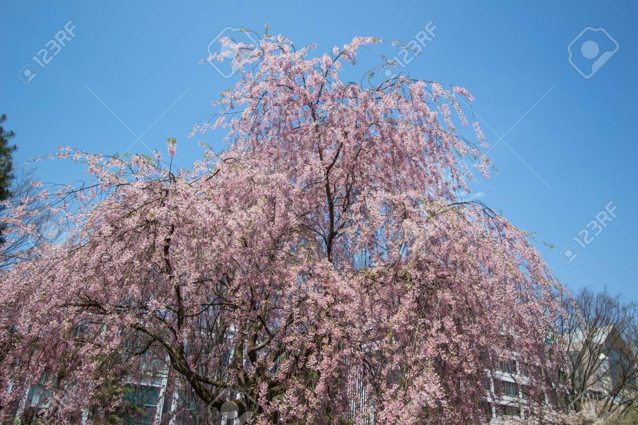 Weeping Cherry Tree Shidarezakura At Morioka Castle Ruins Park