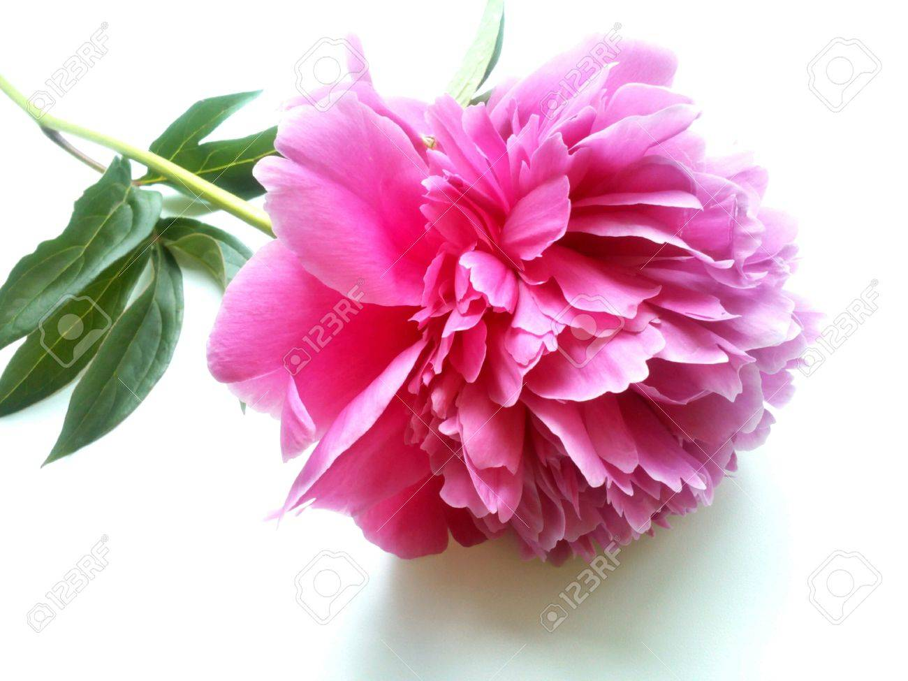 Pink peony flower on a white background stock photo picture and pink peony flower on a white background stock photo 42229413 mightylinksfo