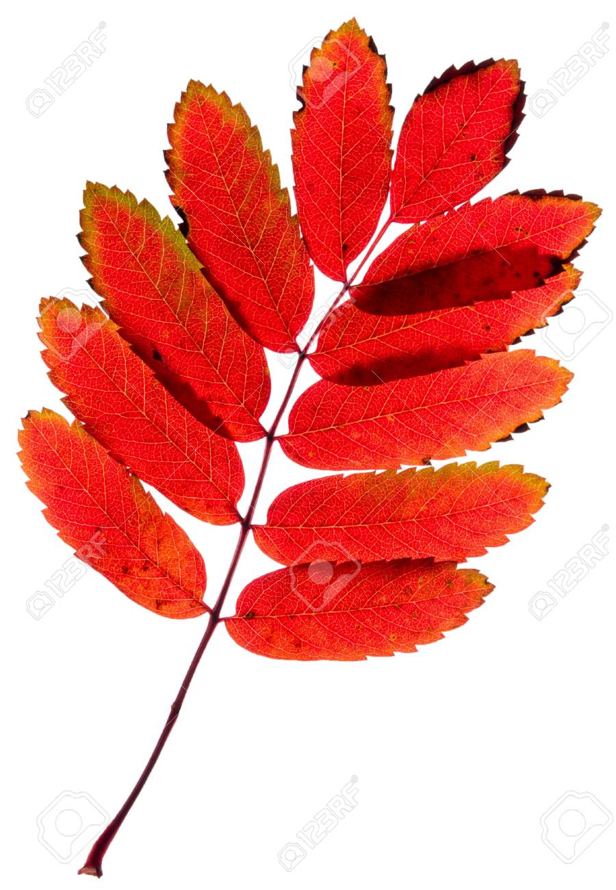red leaves mountain ash isolated on a white Stock Photo - 16324561