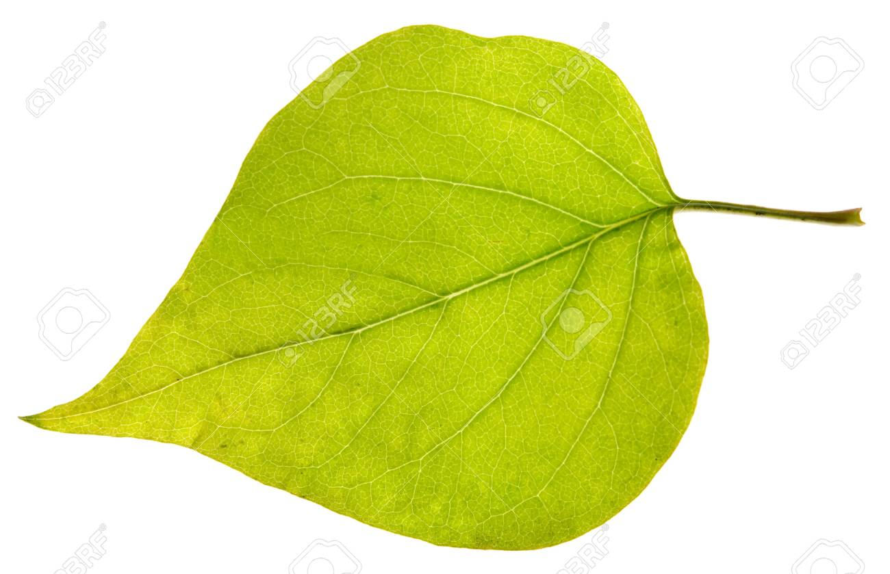 leaf isolated on a white Stock Photo - 16700496