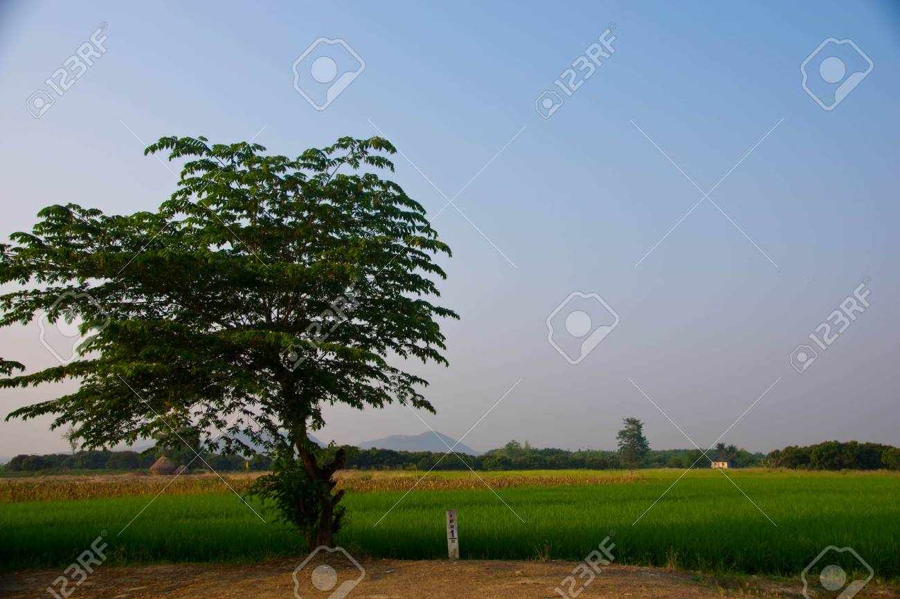 The verdancy of rice field Stock Photo - 13409595