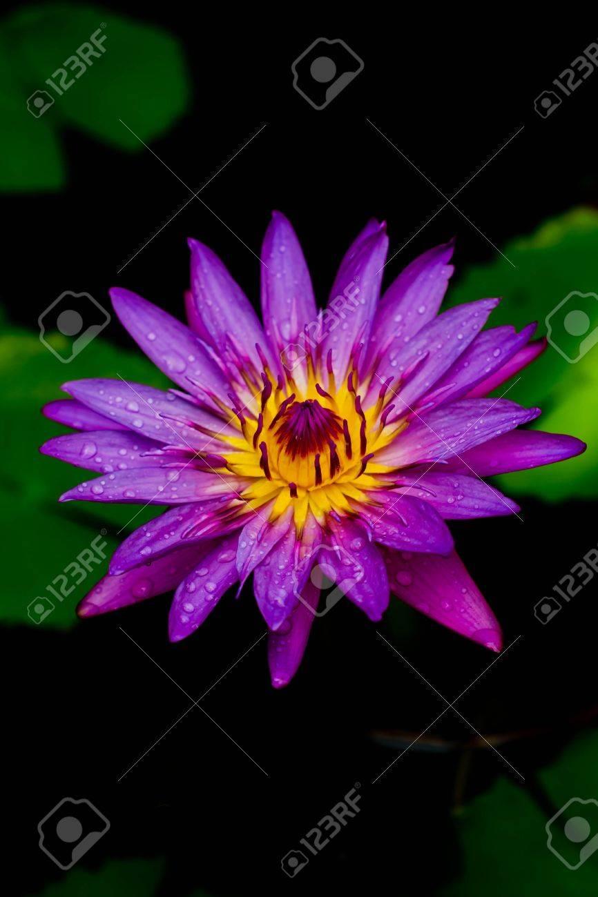 Lotus in bloom Stock Photo - 13409588