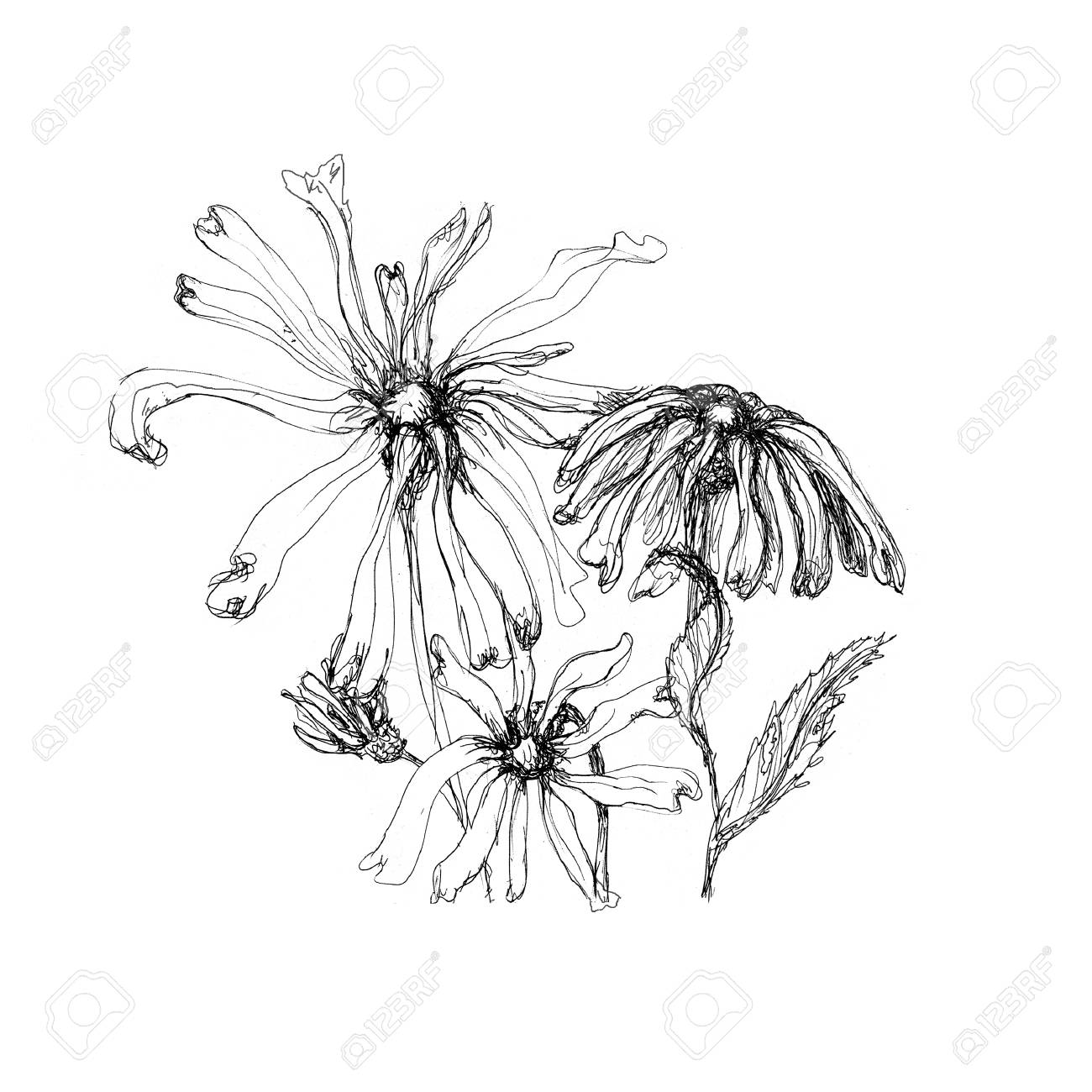 Hand Drawn Pen Ink Floral Artistic Sketch Isolated On White Stock