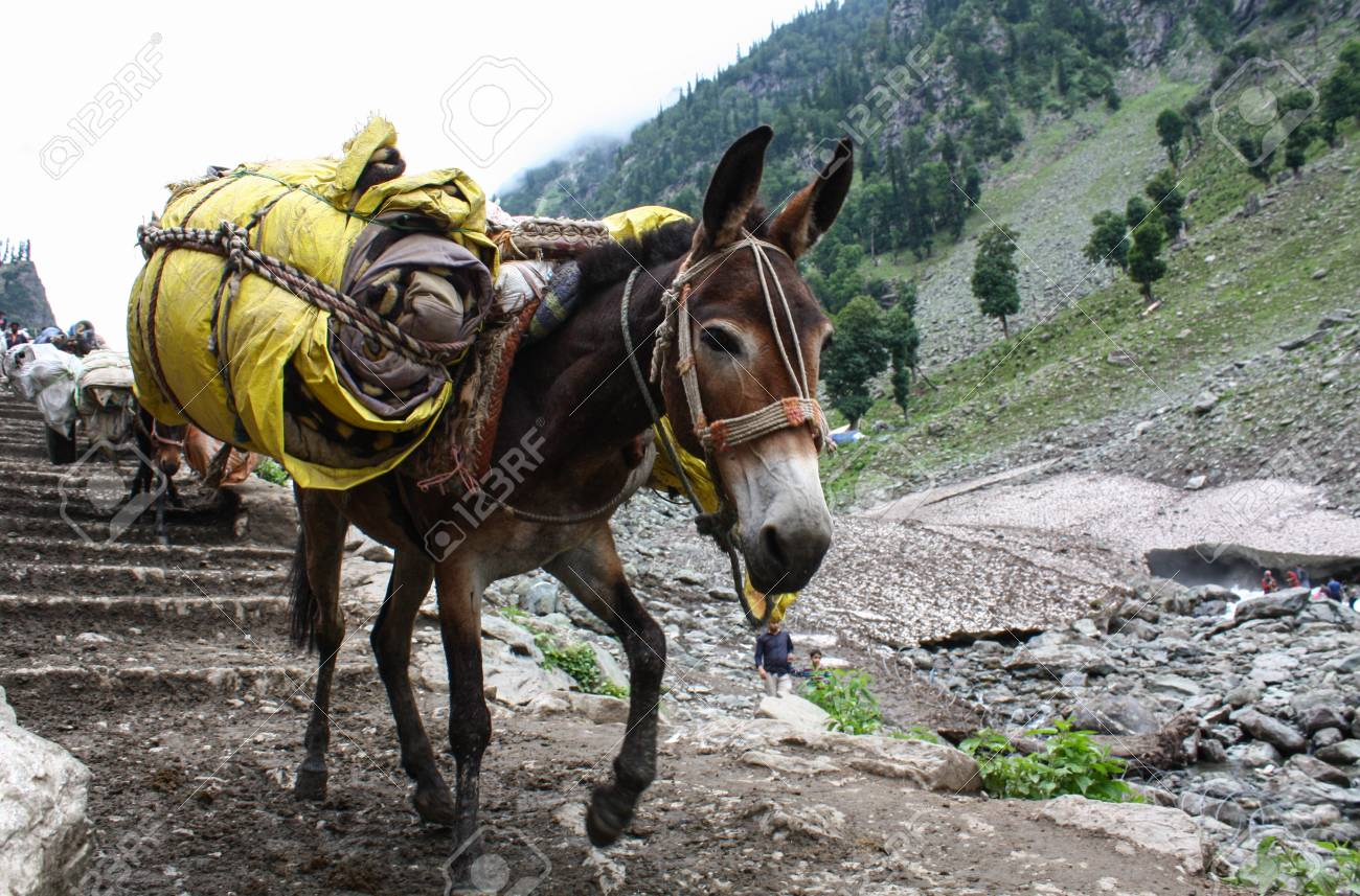 Donkey carrying heavy supplies and luggage on the mountain - 85405505