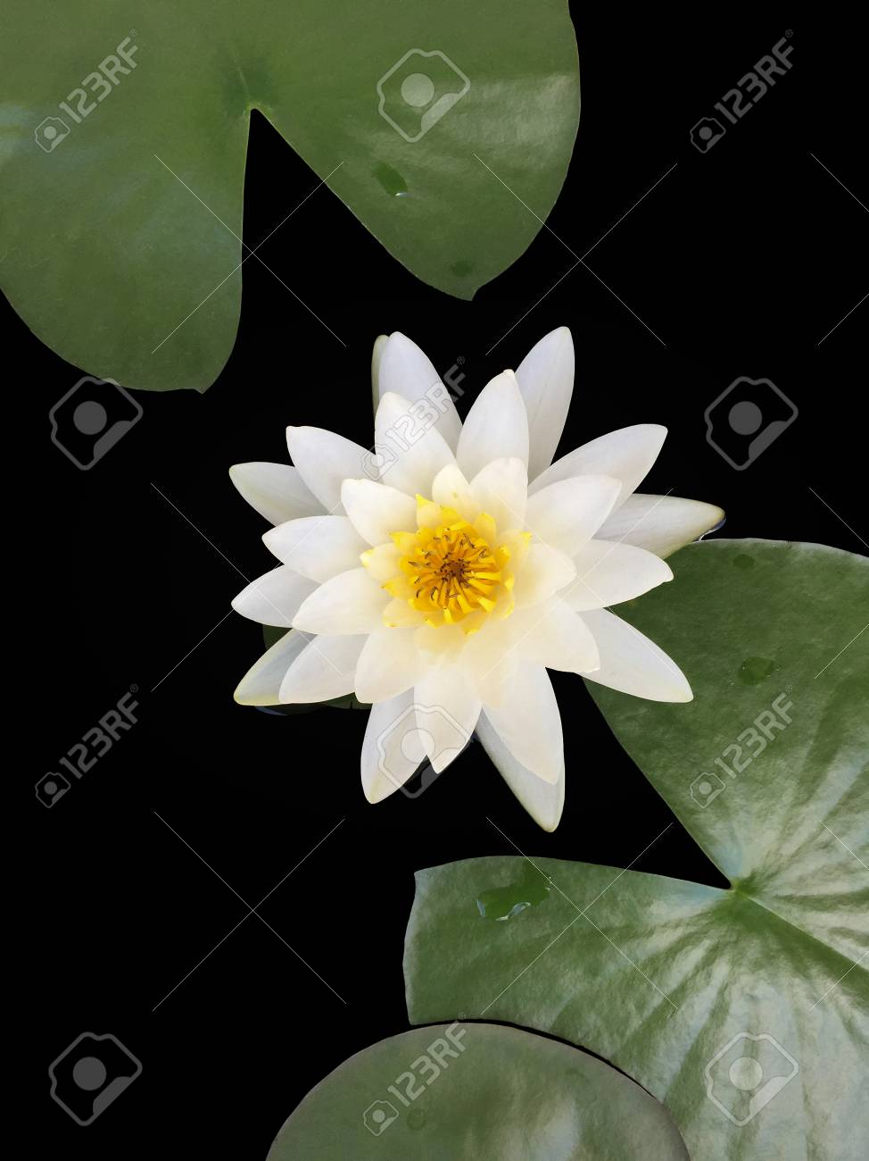 The beautiful white lotus flower or water lily and lily pad in stock photo the beautiful white lotus flower or water lily and lily pad in the pond izmirmasajfo