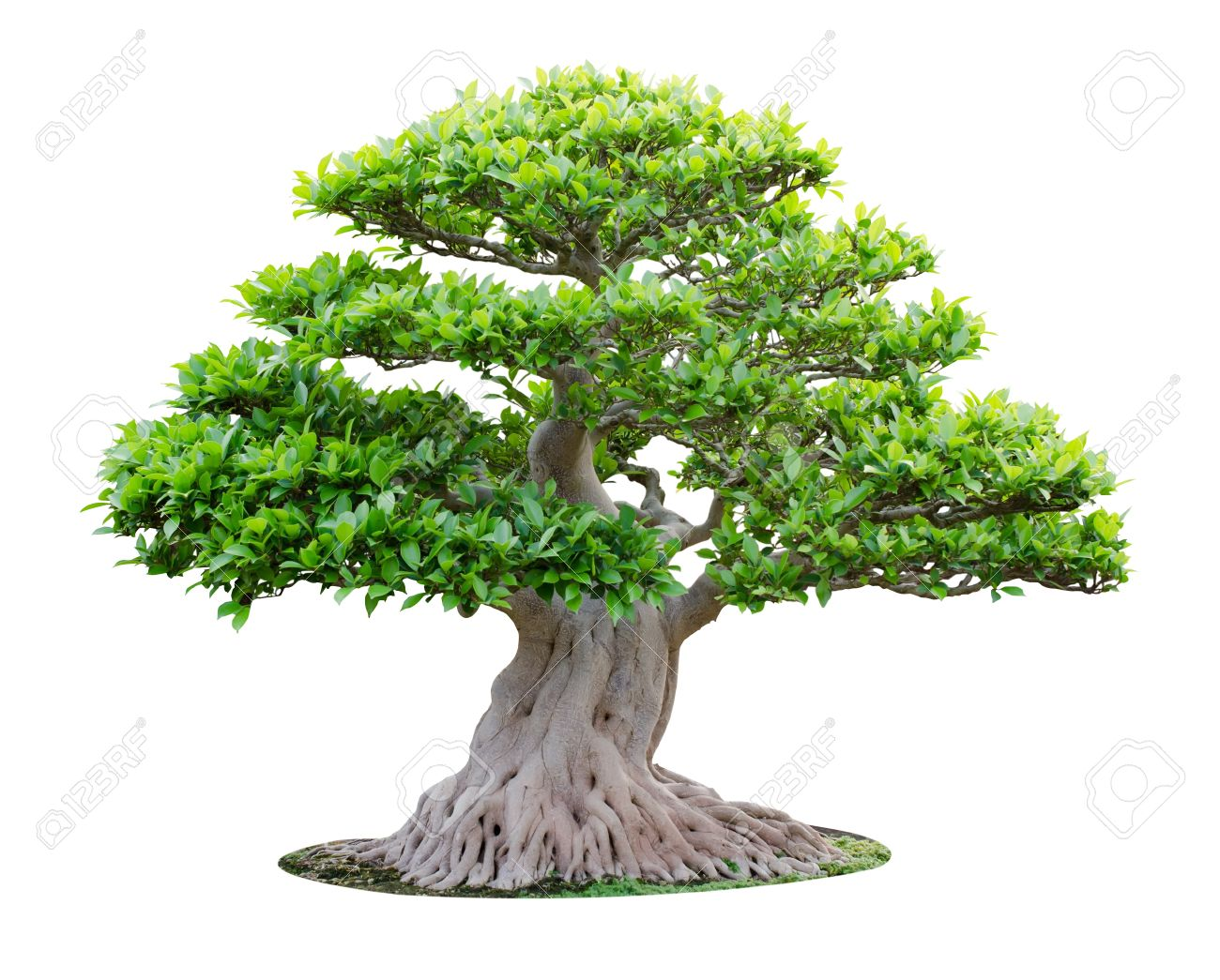 Big Bonsai Tree Isolated On White Background Stock Photo Picture And Royalty Free Image Image 12986135