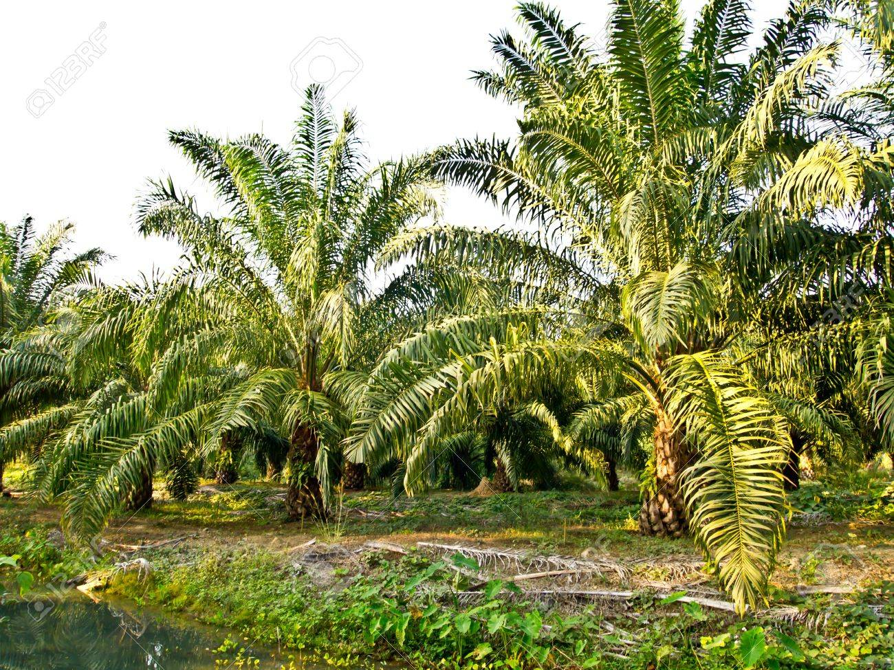 oil palm plantation in Thailand Stock Photo - 12345634