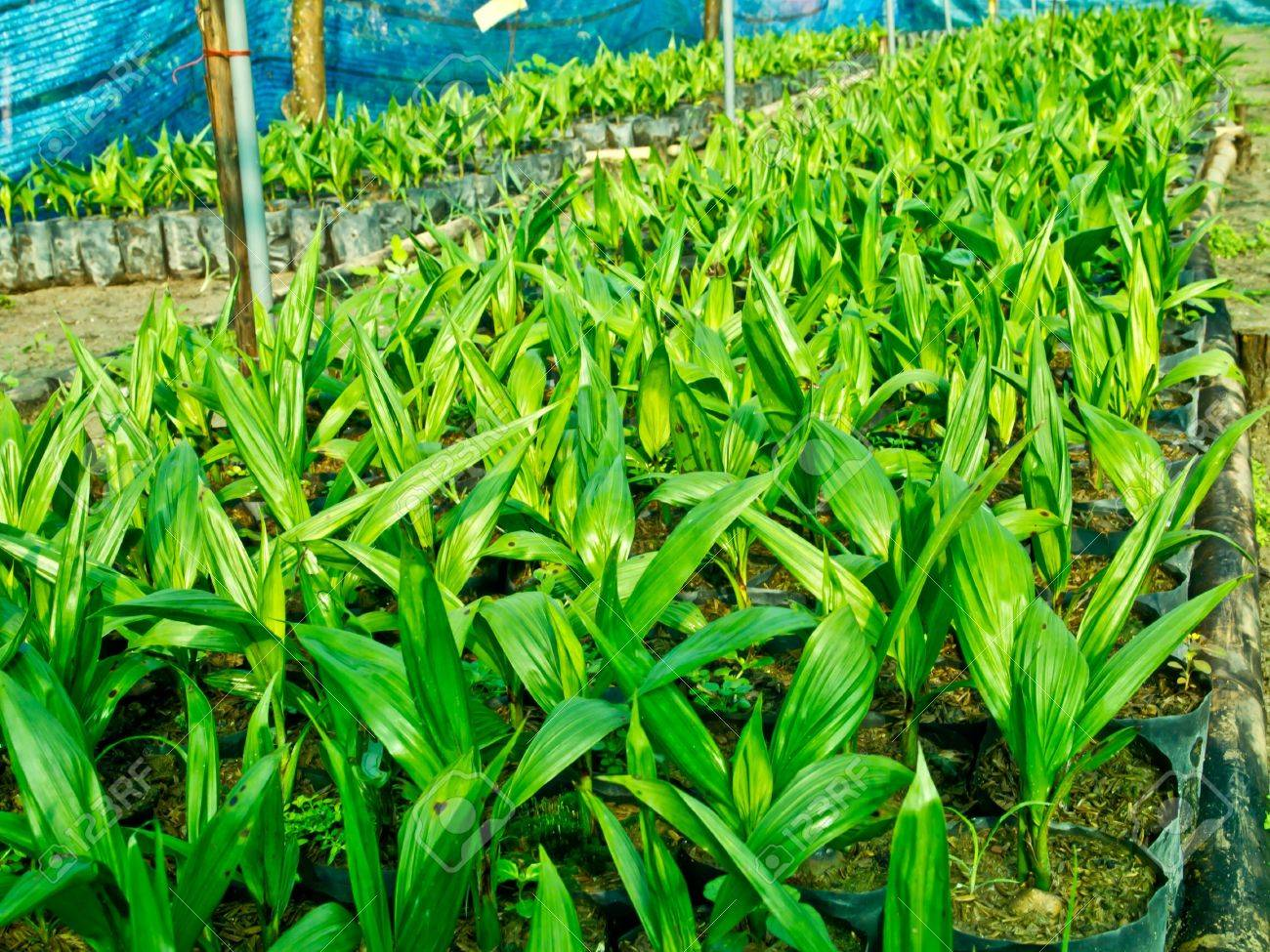 baby oil palm trees Stock Photo - 12345540