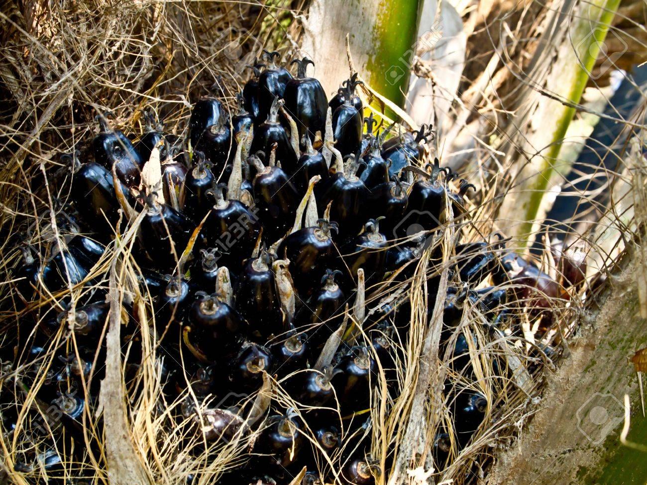 oil palm fruit bunch Stock Photo - 12345541