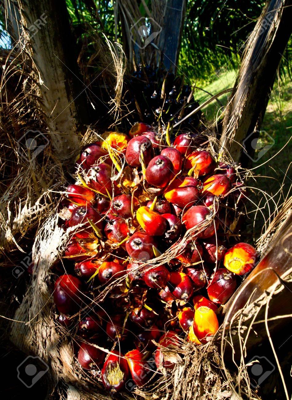 oil palm fruit bunch Stock Photo - 12345533