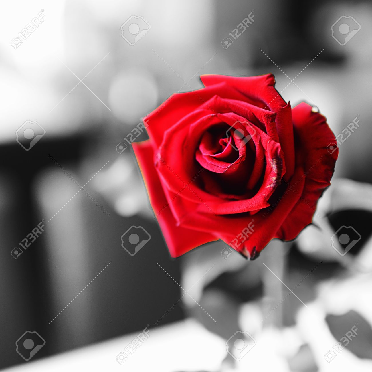 Red rose on black and white background for contrast concept stock photo 19656738