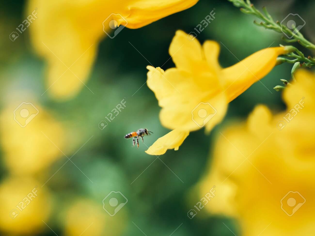 Yellow Elder Trumpet Bush Trumpet Flower Thai Flower In Nature