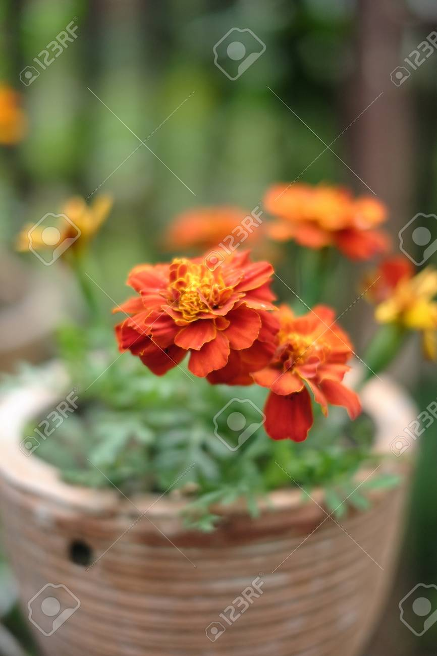 Fresh Orange Yellow Autumn Marigold Flower In The Clay Flower