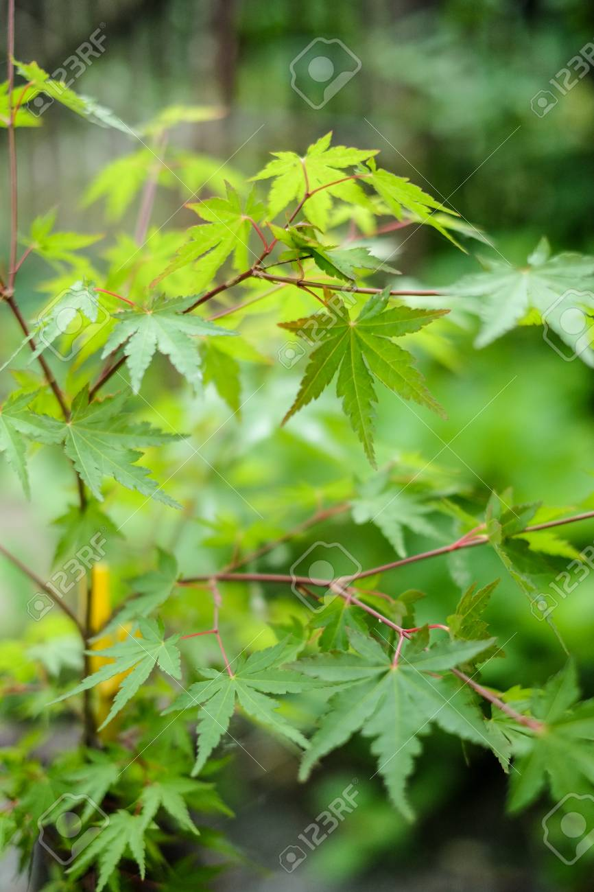 The Young Green Leaves Of Japanese Maple Tree Shallow Depth