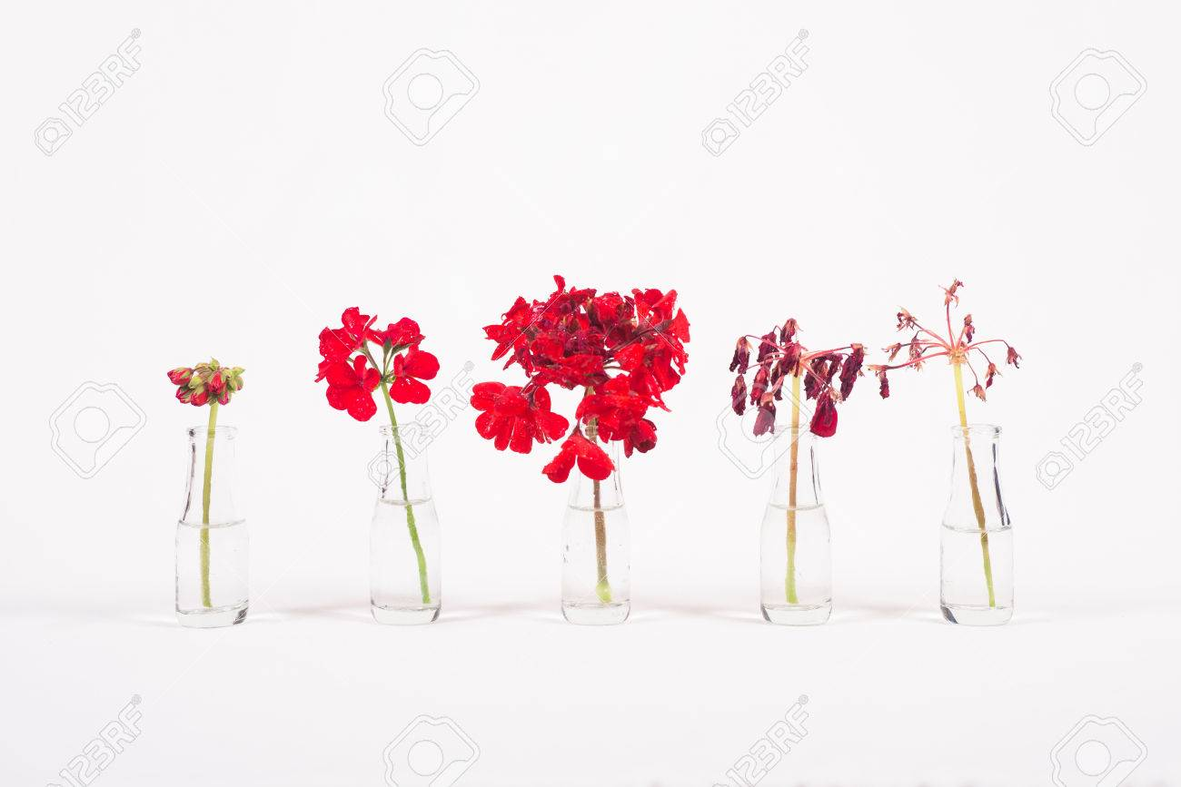 Row of red flowers in glass jars, cycle from bloom to wither, on white background - 37625420