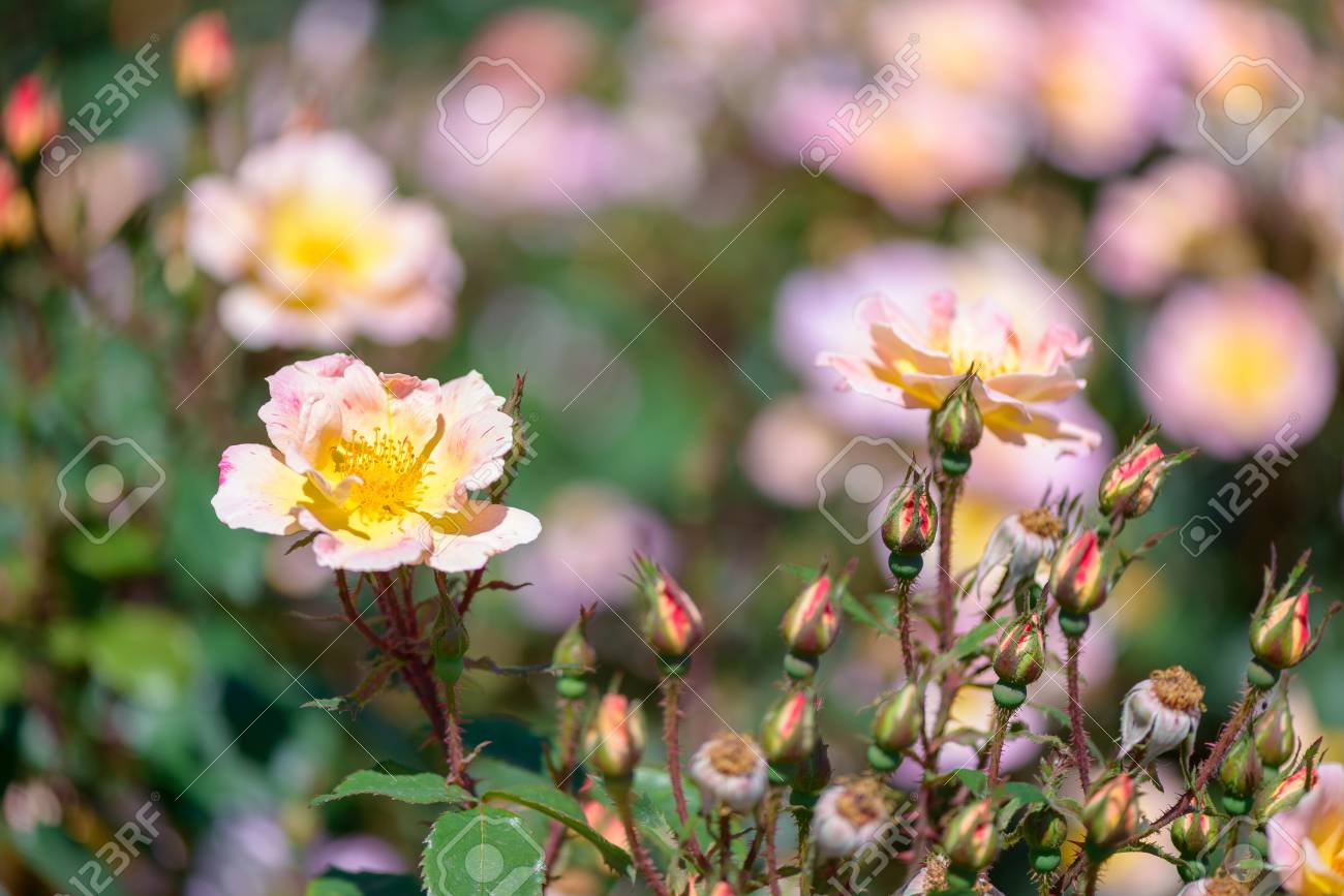Beautiful pink and yellow roses flowers with blurred green background - 104948837