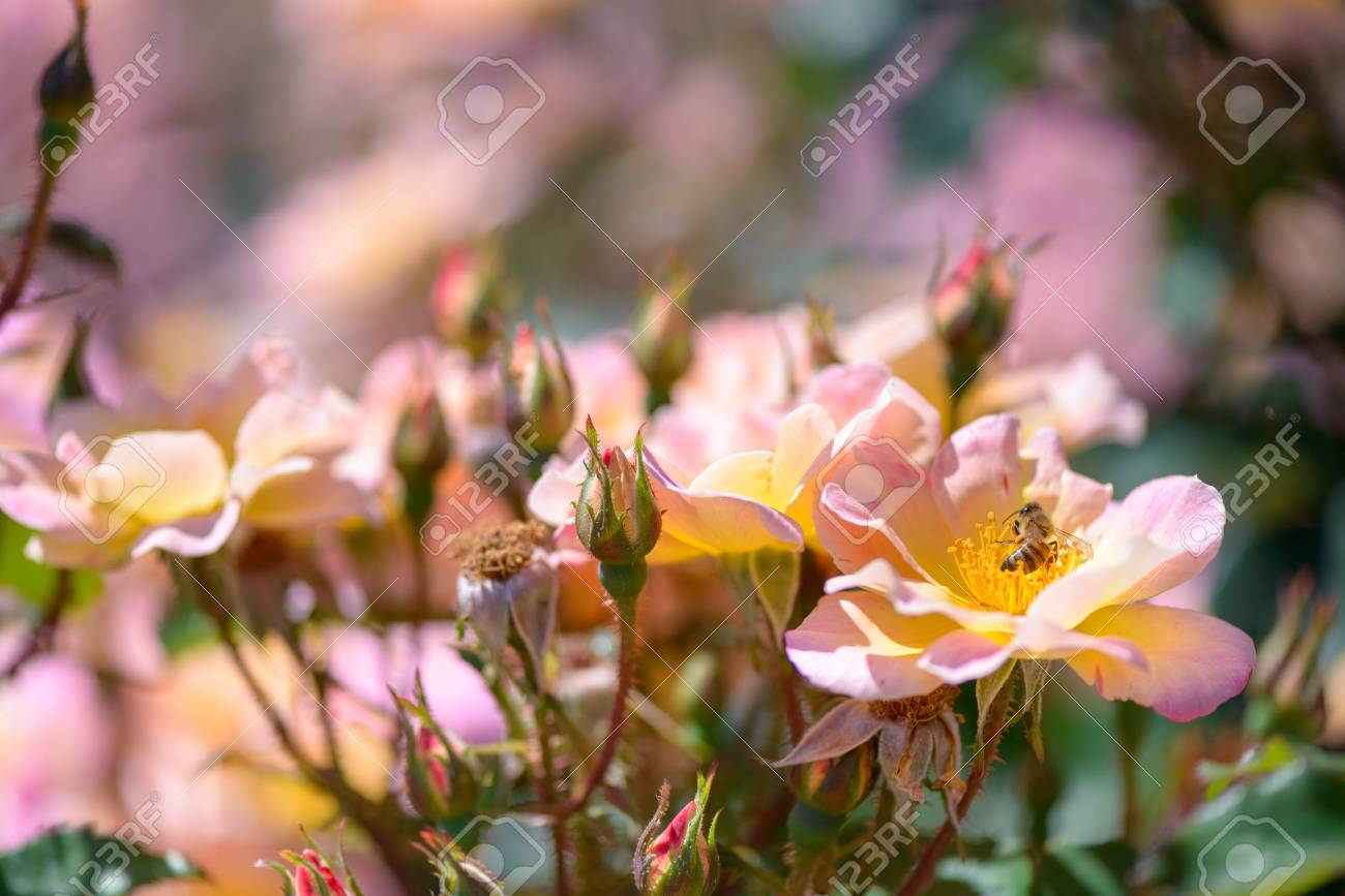Beautiful pink and yellow roses flowers with blurred green background - 105112961
