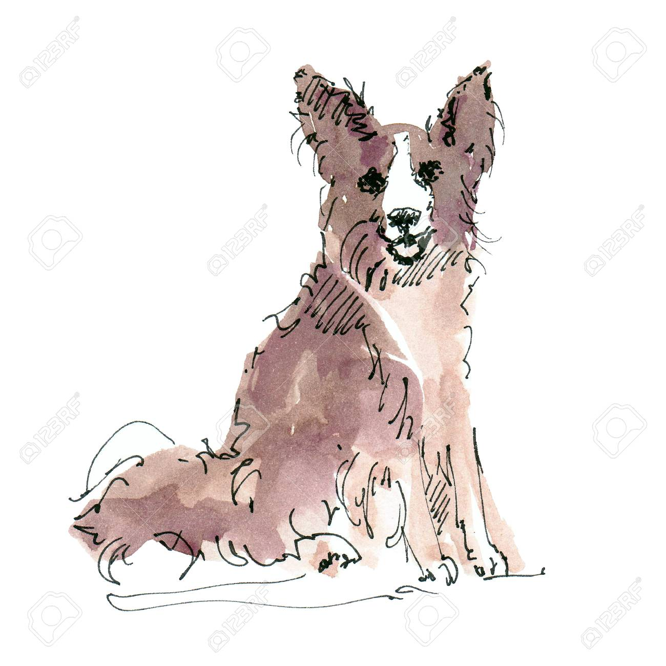 Watercolor illustration of Border Collie dog sketch isolated on white - 109991149