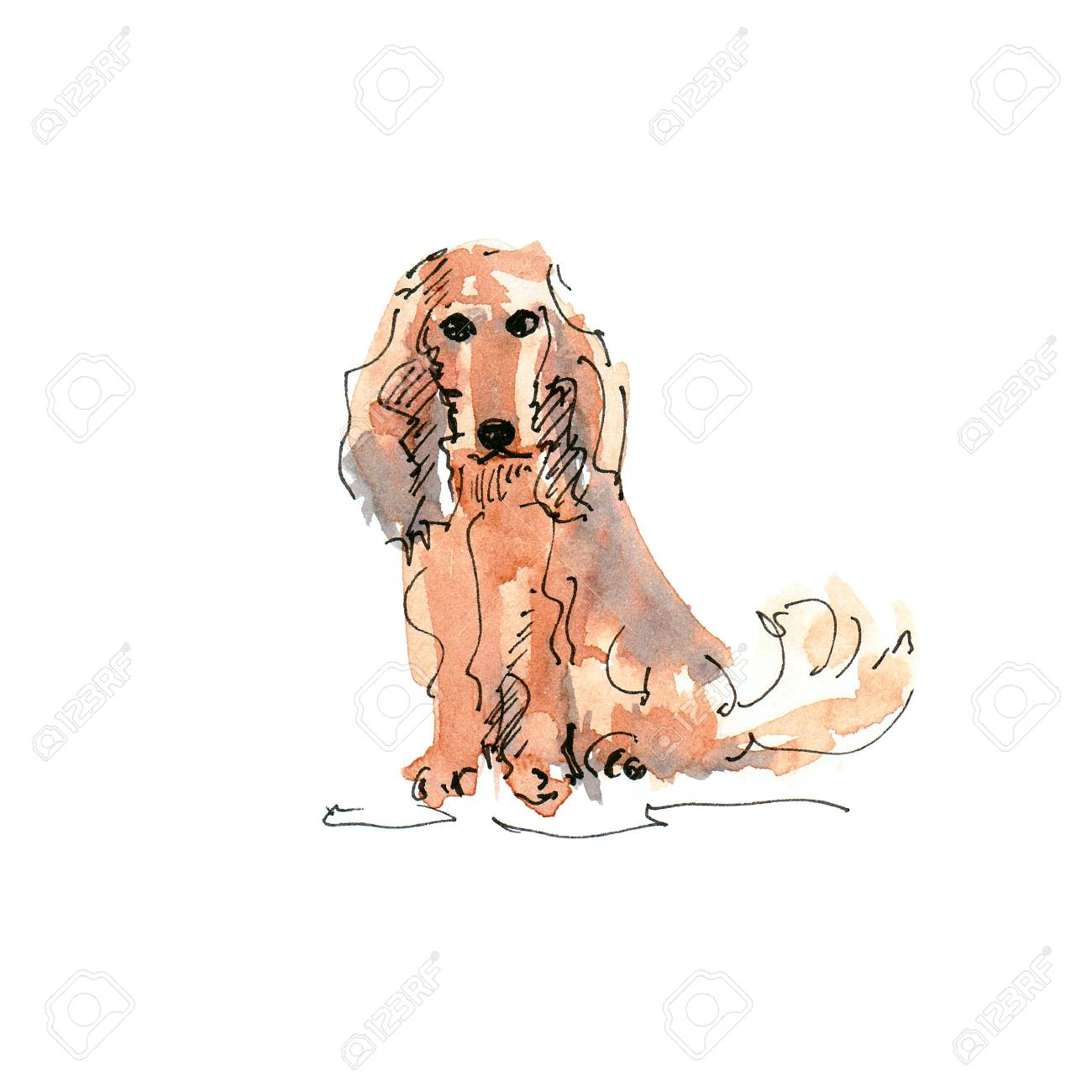 Watercolor illustration of Long-Haired Dachshund dog drawing isolated on white - 109991117