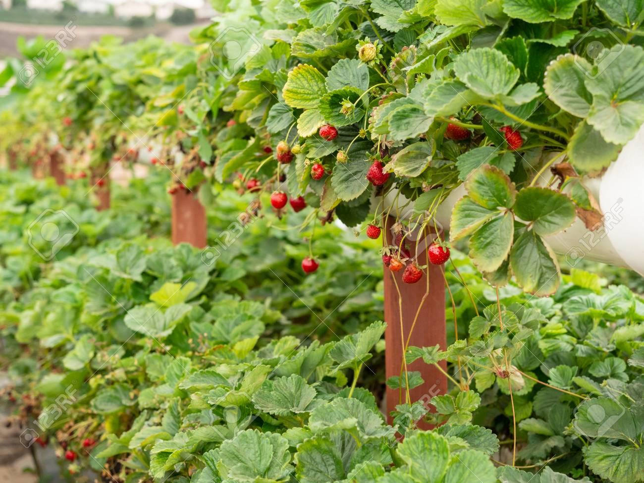 Organic strawberry growing on hydroponic farm outside - 115343934