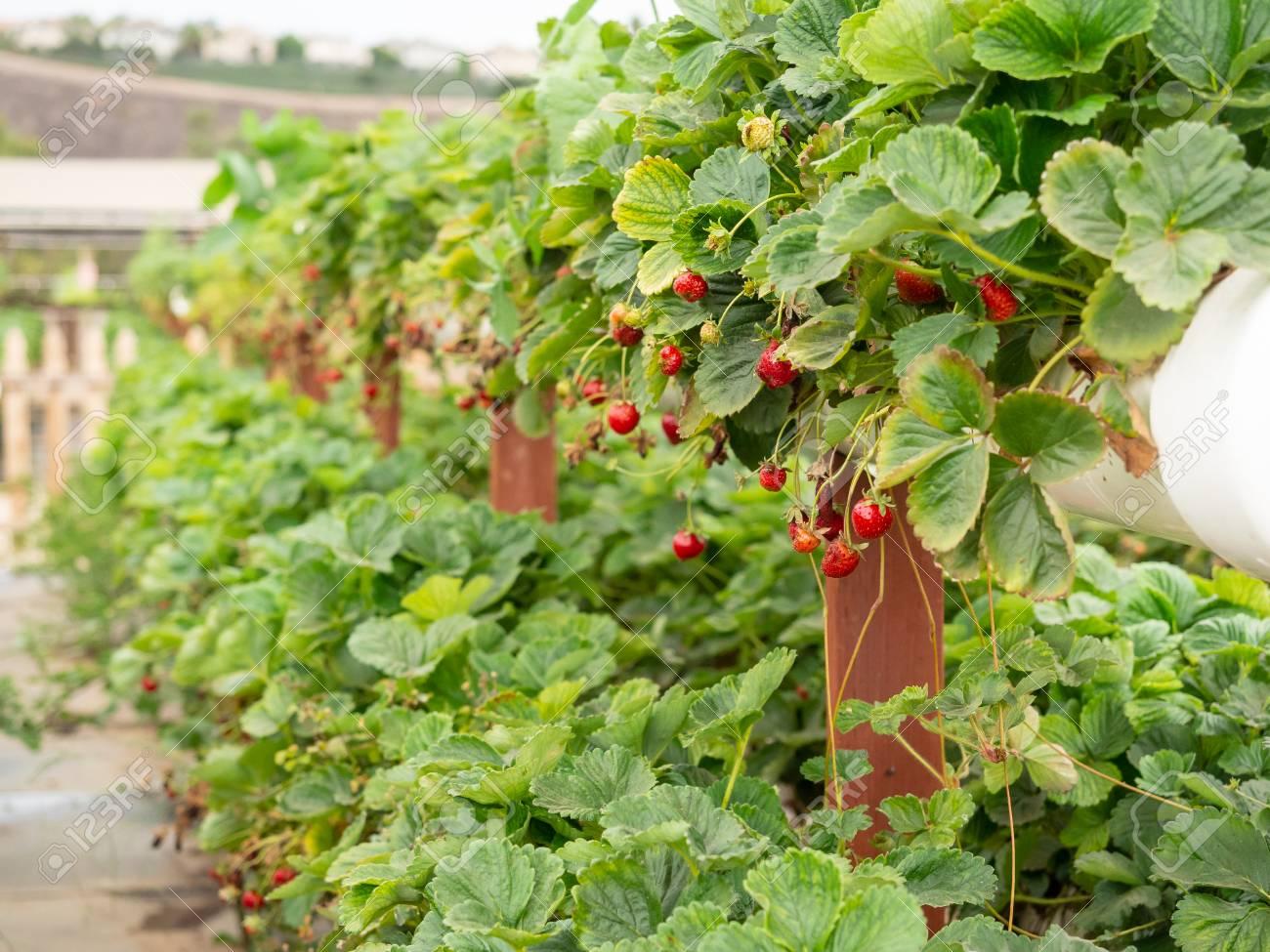 Organic strawberry growing on hydroponic farm outside - 115343664