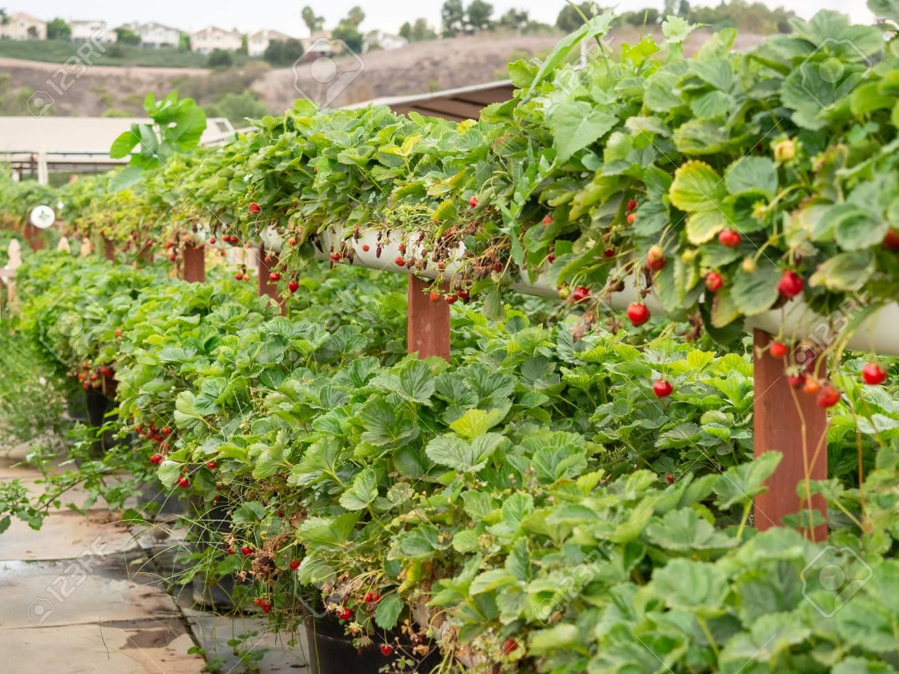 Organic strawberry growing on hydroponic farm outside - 115343667