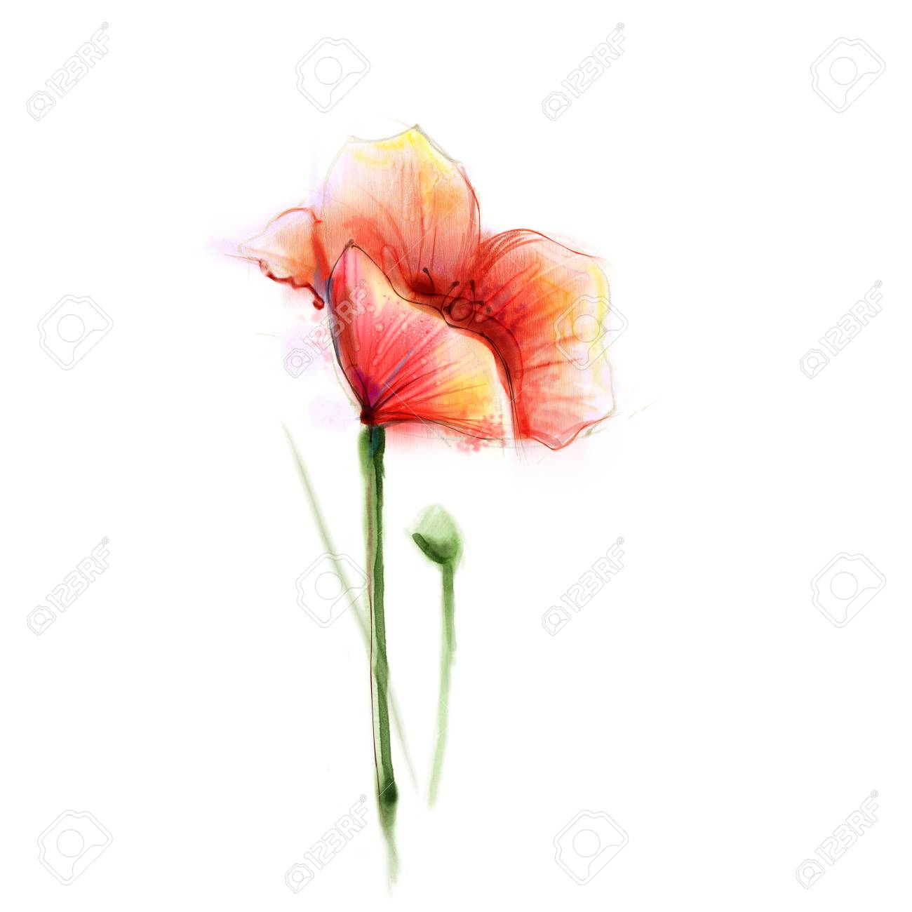 Watercolor Painting Poppy Flower Isolated Flower On White