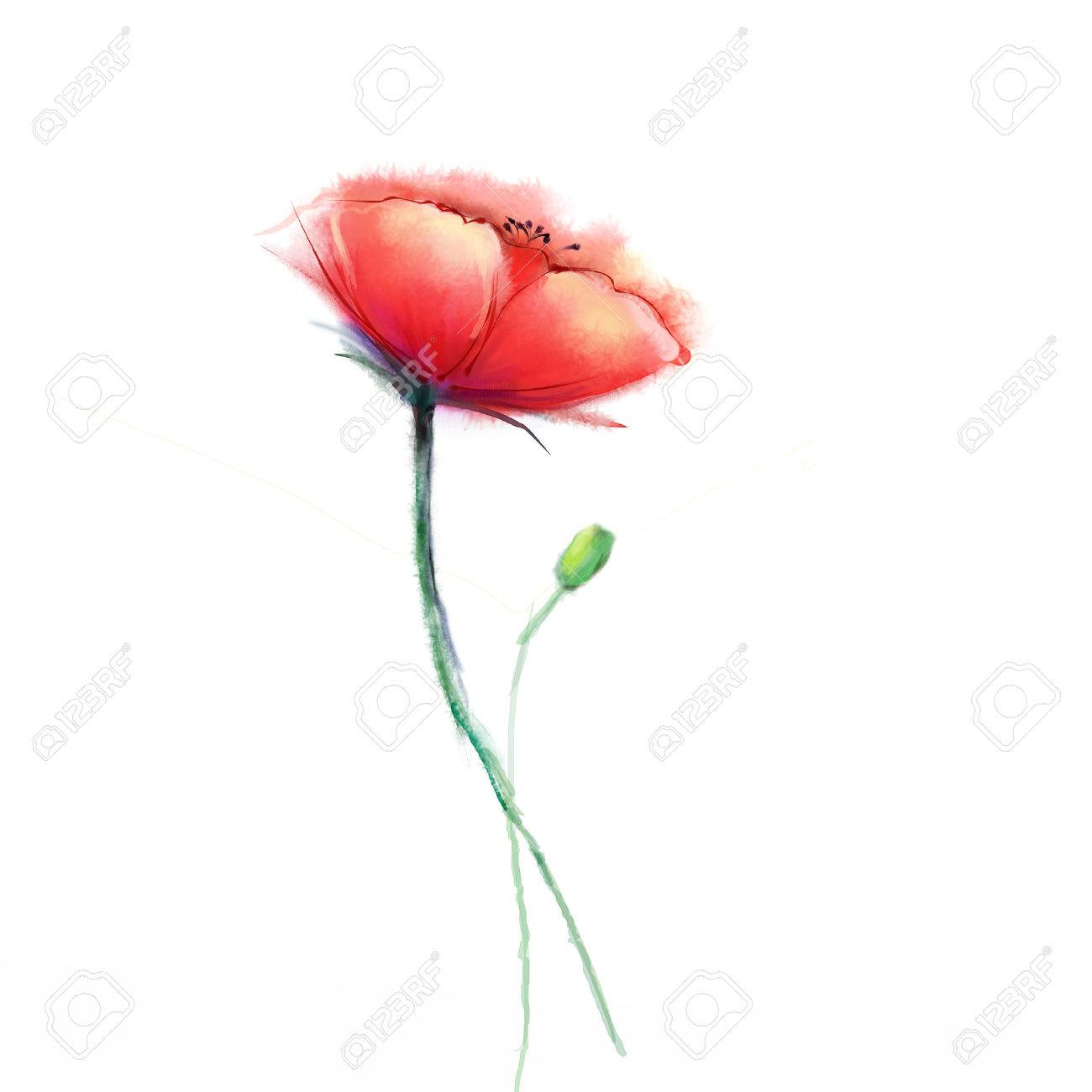 Watercolor Painting Poppy Flower Isolated Flowers On White