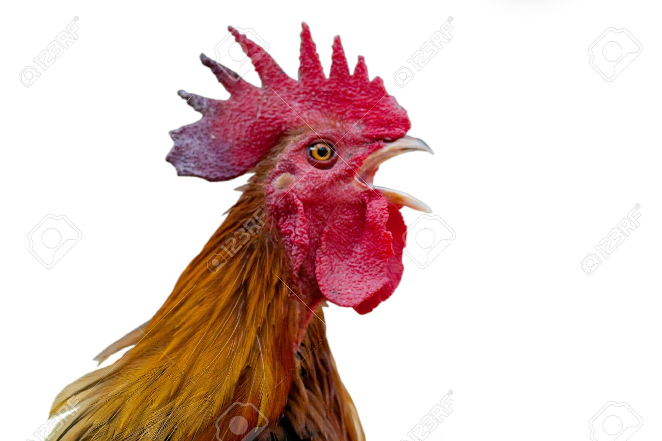 rhode island red rooster stock photos u0026 pictures royalty free
