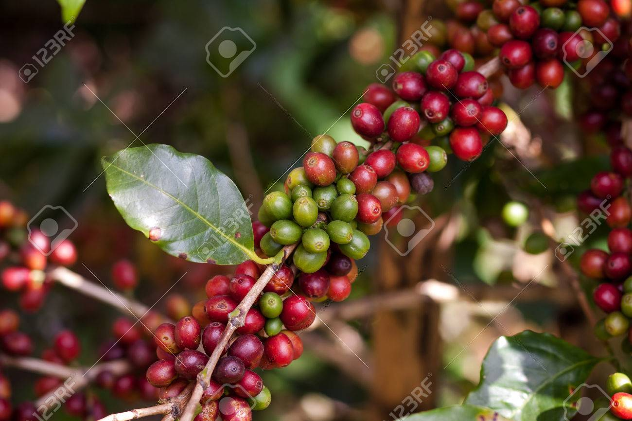 Coffee Beans On Plant In The Garden Close To Harvest Stock Photo ...