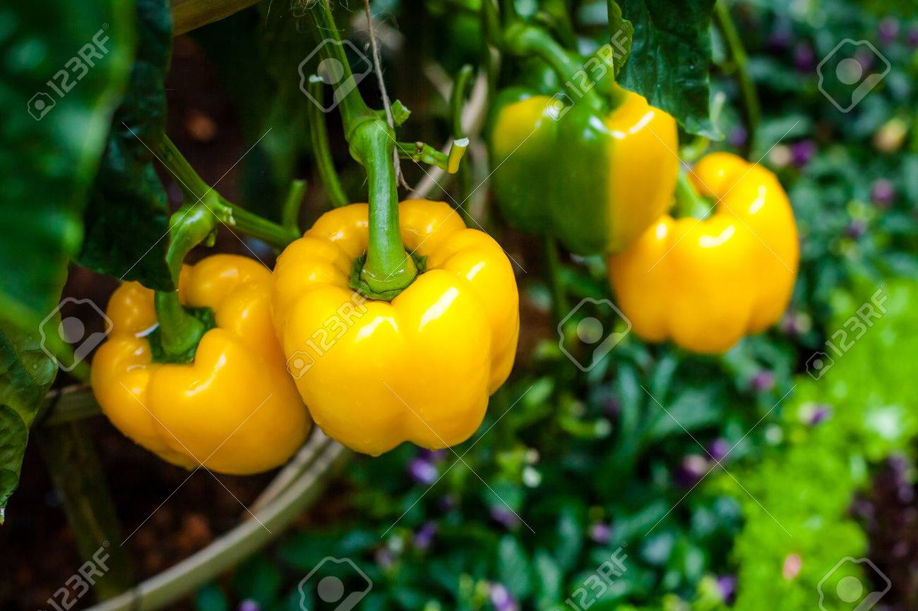 Paprika, Beautiful Colors That Are Still On The Tree. Stock Photo ...