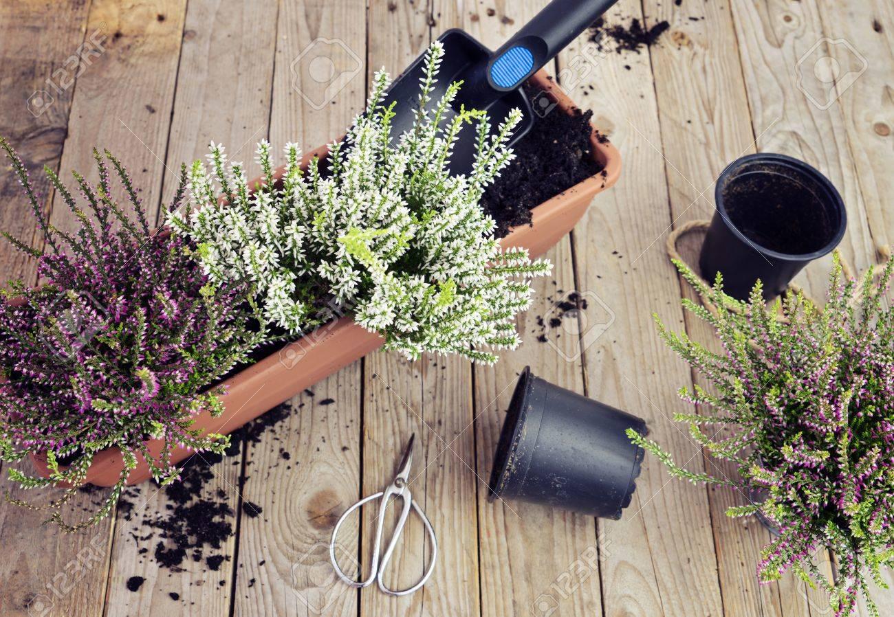 Préparer Le Jardin Pour L\'automne. Planter Des Fleurs D\'automne En ...