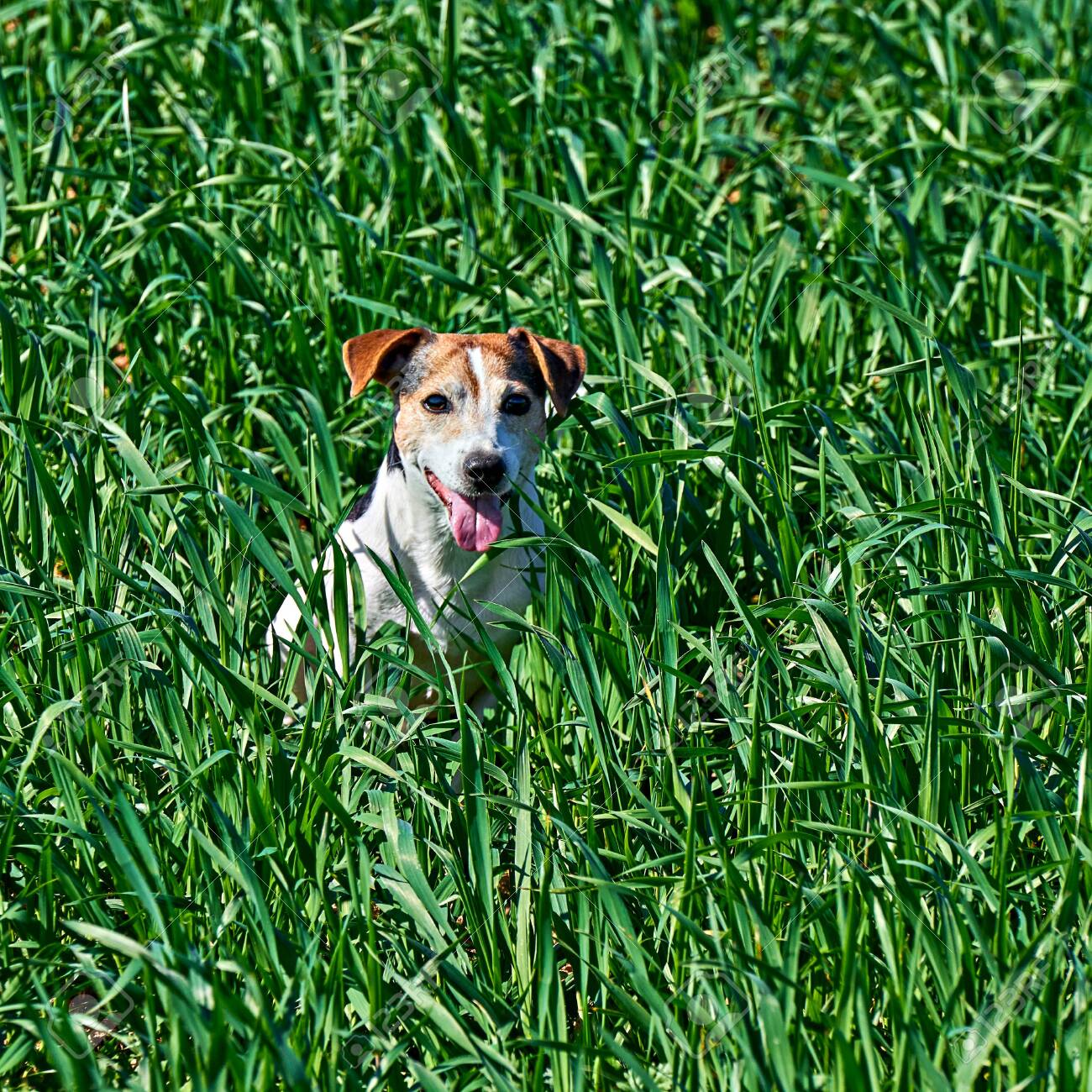 Cute puppy sits in tall green grass. Playful red and white dog jack russell play on farm meadow with copy space - 140309331