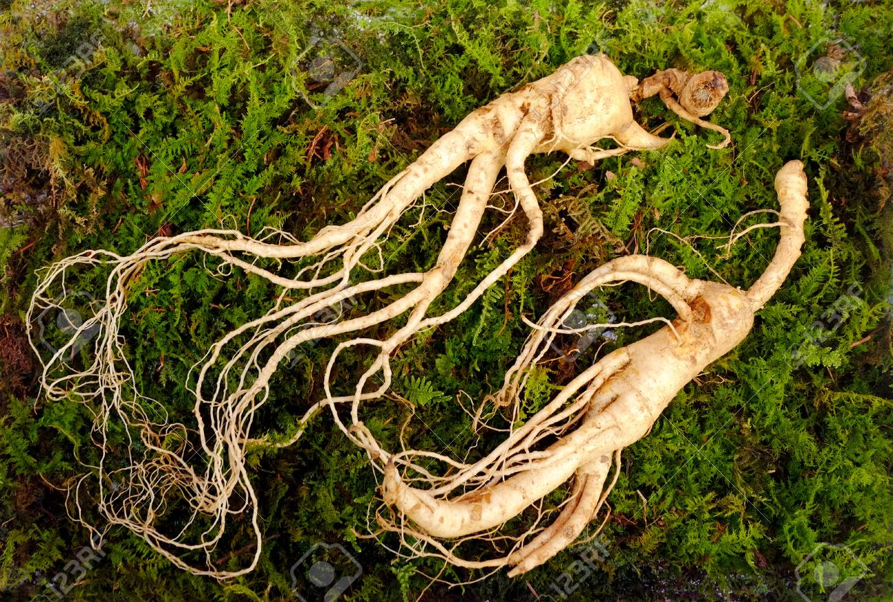 Wild Korean ginseng root. Wild ginseng can be processed to be red or white ginseng. Ginseng has been used in traditional medicine. - 99001293