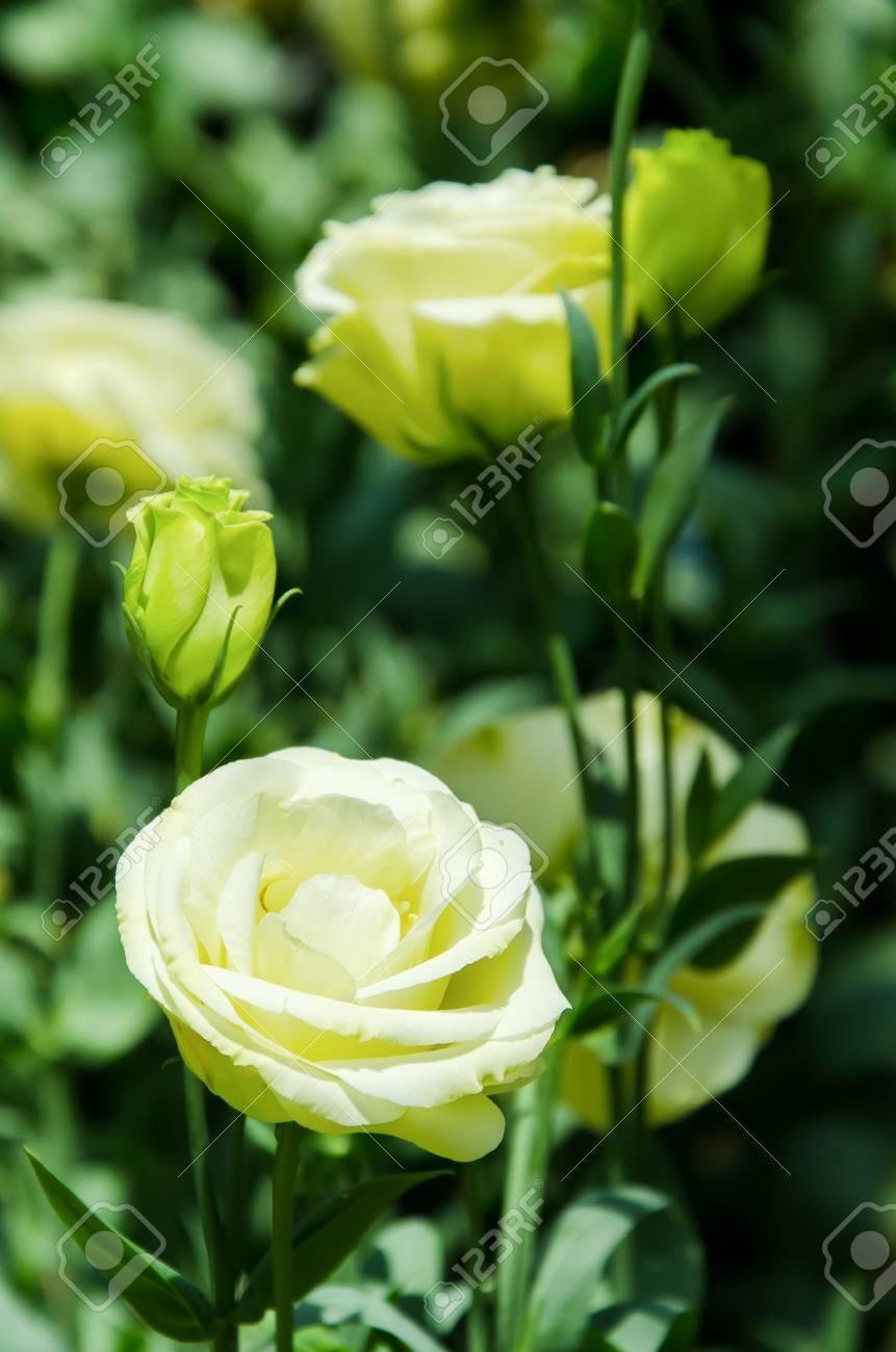 Lisianthus Blume Im Garten Lizenzfreie Fotos Bilder Und Stock