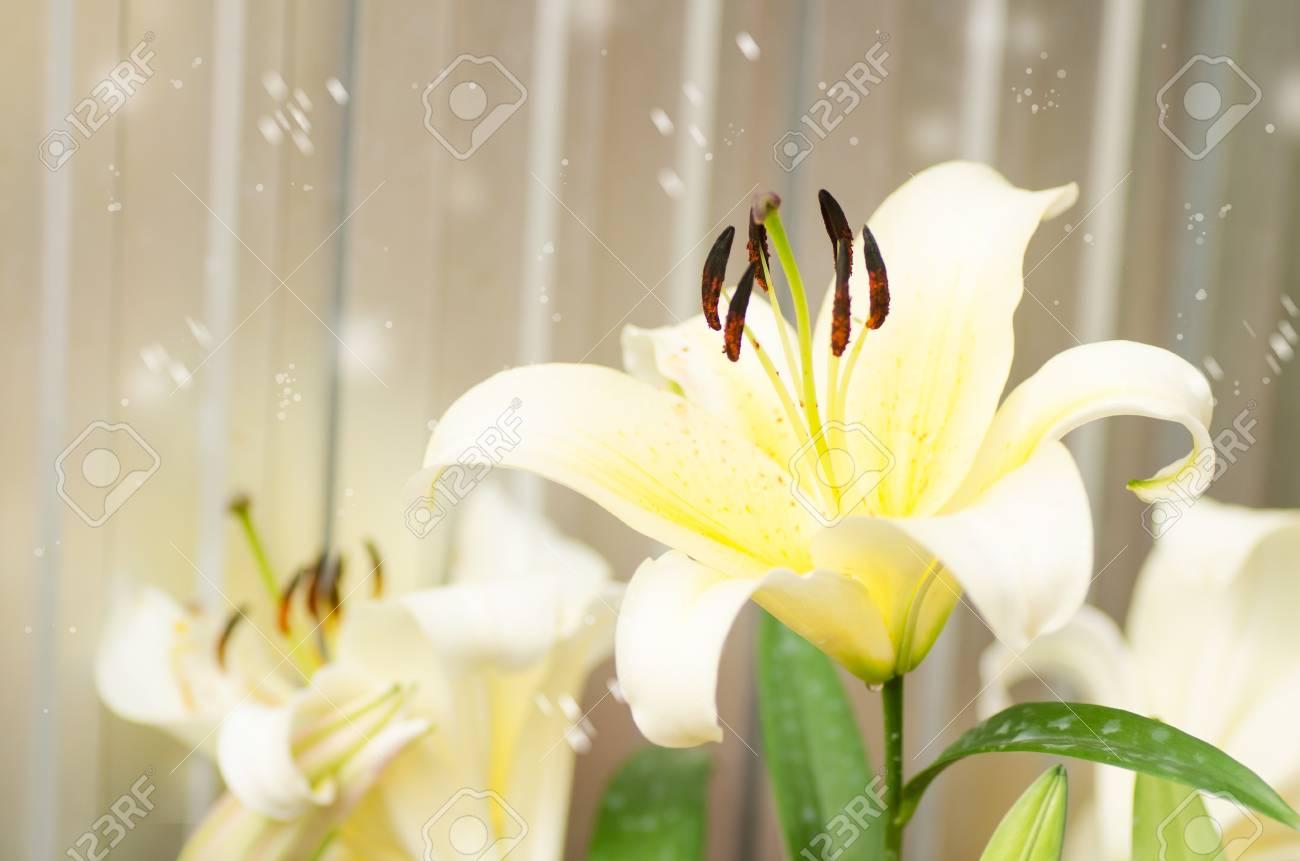 Winter seasonwhite lily flower in a garden with snowflower stock stock photo winter seasonwhite lily flower in a garden with snowflower background in cold weather izmirmasajfo