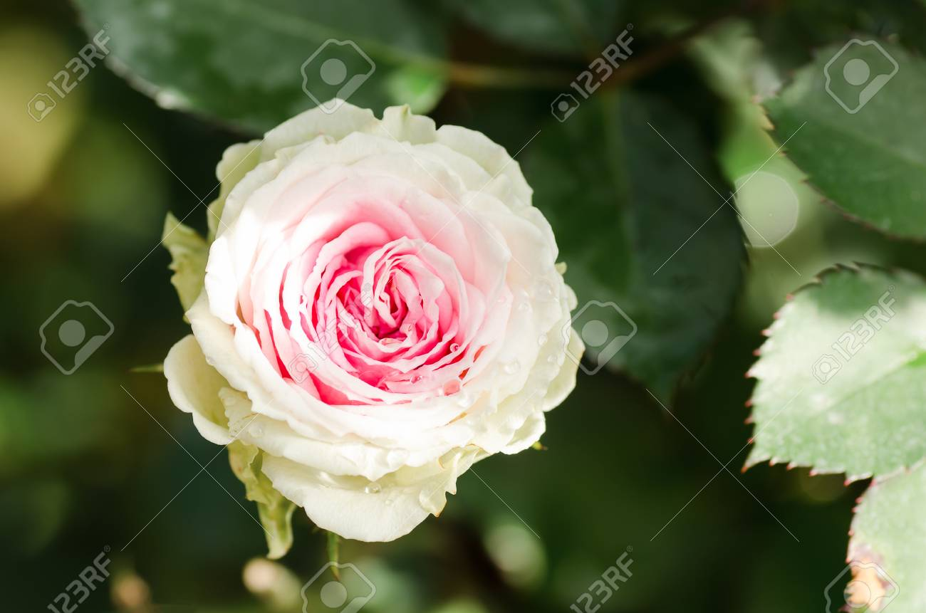 Beautiful rose flower blossom in a gardenvalentine concept stock beautiful rose flower blossom in a gardenvalentine concept stock photo 71328767 izmirmasajfo