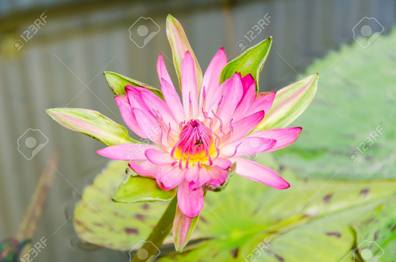 Pink Waterlilylotus Flower Blossom In Spring Stock Photo Picture