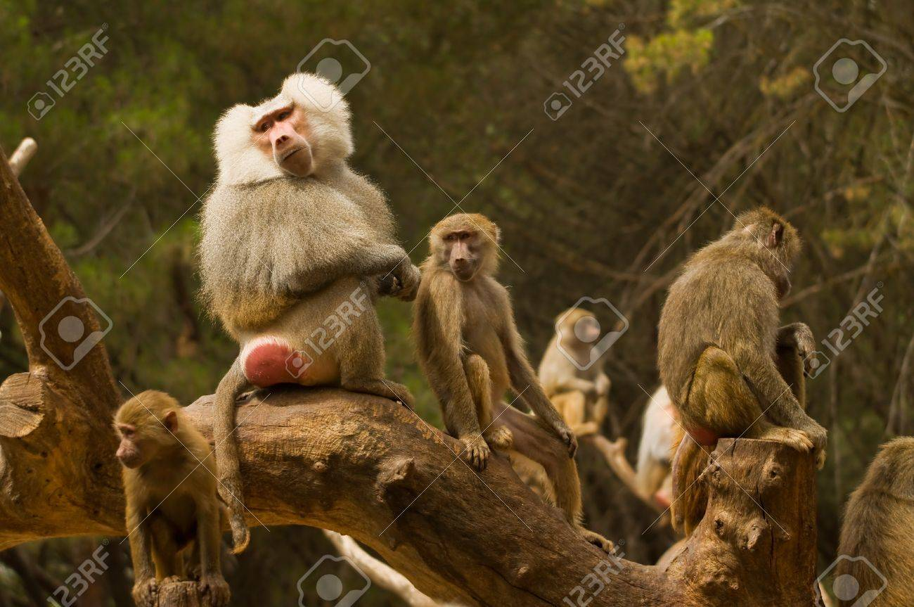 In this family of monkeys we can see well who is the boss Stock Photo - 18022471