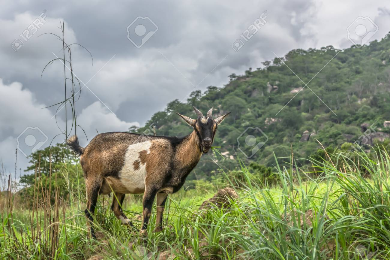 View of a goat eating herbs in the mountain