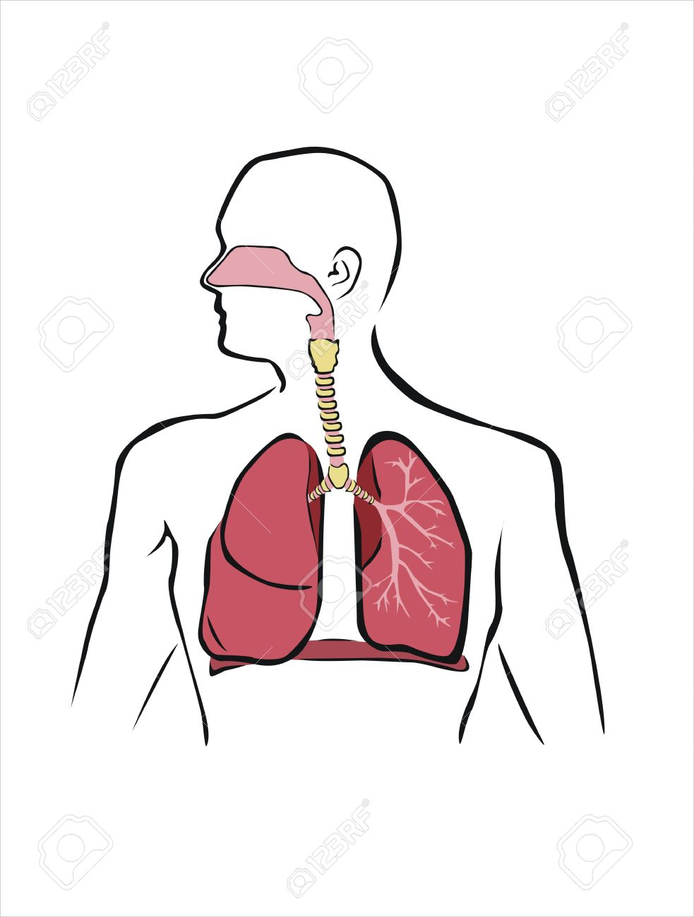 Diagram of human respiratory system royalty free cliparts vectors diagram of human respiratory system stock vector 39959592 ccuart