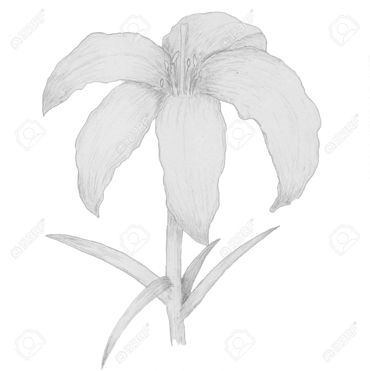 Illustration De Dessin A La Main Botanique Fleur De Lys Banque D