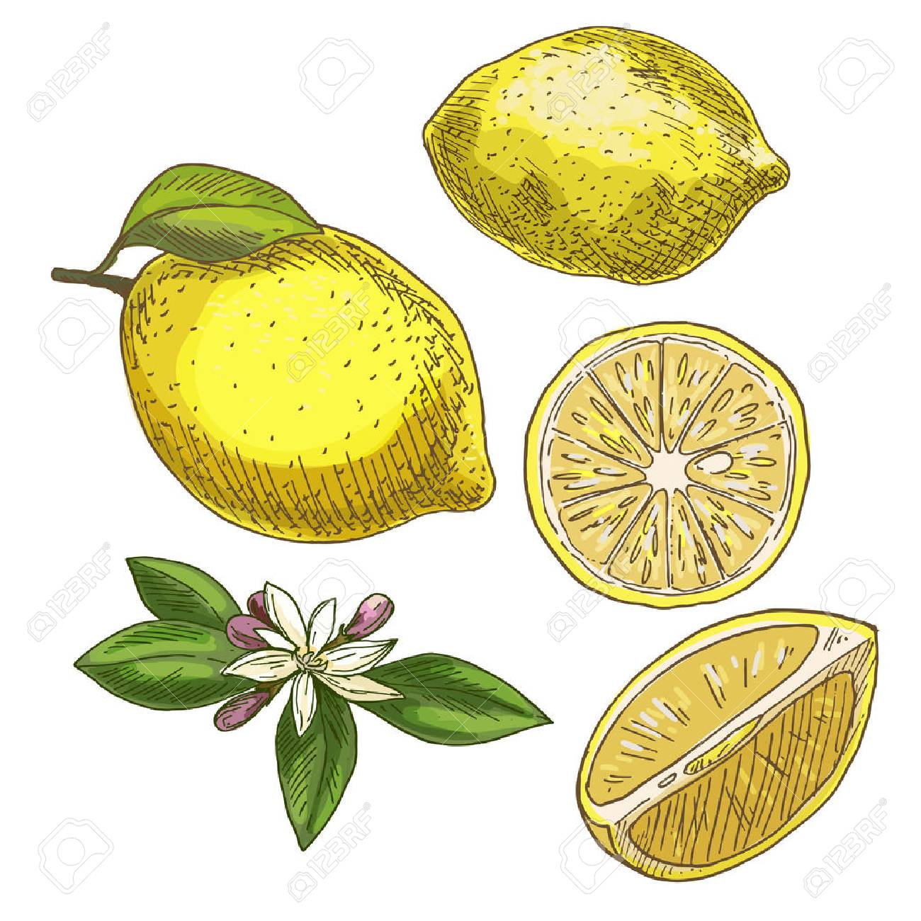 Zitrone Mit Blatt, Hälfte Der Frucht, Blume. Farbenreiche ...